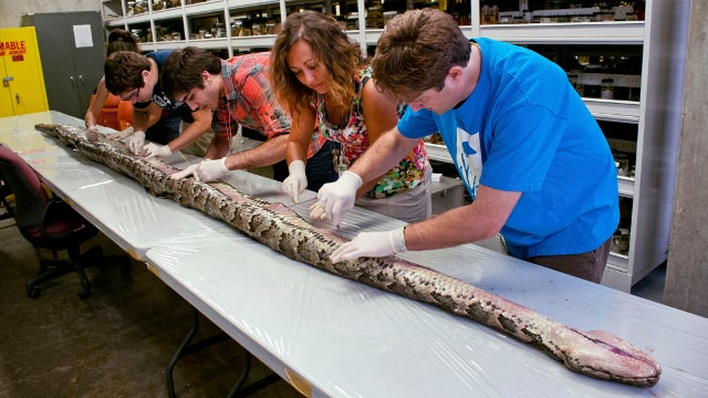 Massive Burmese Python Found in Florida is Largest in State's History