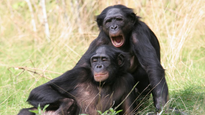 What can the DNA of bonobos teach us about what it means to be human?