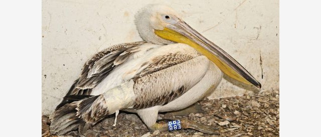 How the hell did this pelican survive after getting shot 110 times?