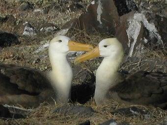 Lesbian Albatrosses Raising Chick Together