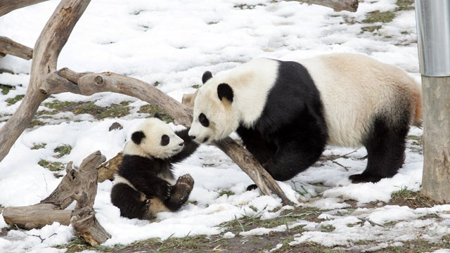 San Diego Panda Gives Birth to 6th Cub, All Other Pandas Trip Over Themselves to Offer Unsolicited Parenting Advice