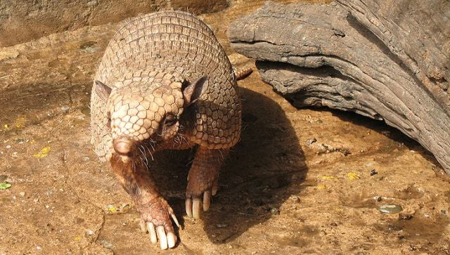 Humans can get leprosy through contact with armadillos