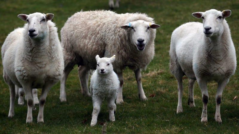 Asshole British Sheep Run Amok in Graveyard Eating Mementos