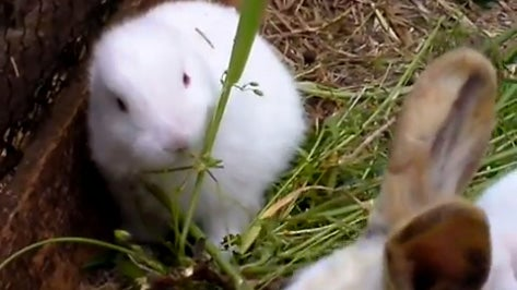 Mutant Bunny from Fukushima Freaks Everyone Out, Adorably