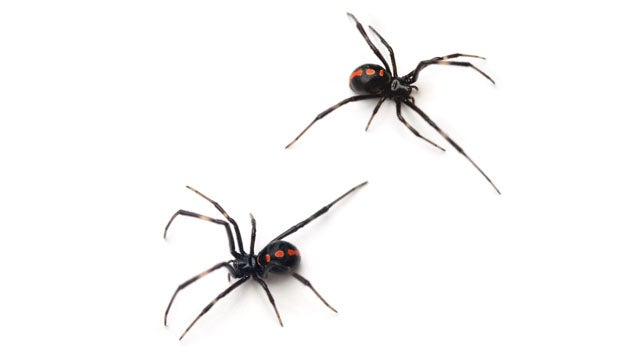 Spider Dudes Give Crappy Gifts, Trick Ladies Into Sex