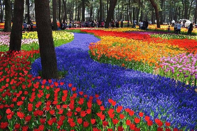 A never-ending ocean of 4.5 million flowers in Japan