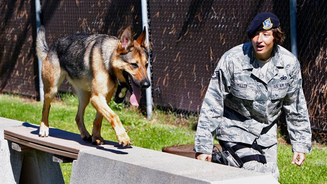 Even Military Dogs Are Being Diagnosed With PTSD