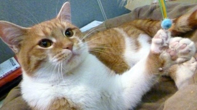 26-toed mutant kitty uses his extra digits to save animal shelter