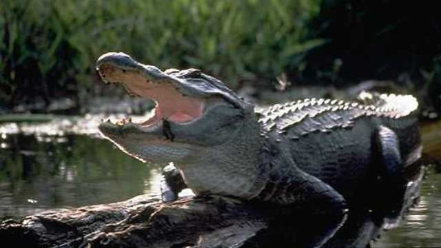 Alligators use Faraday waves to get some tail