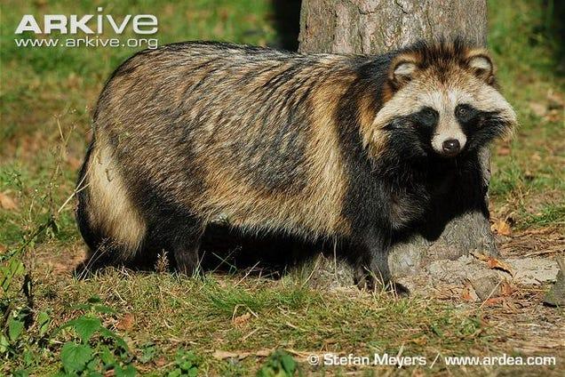 Do Raccoon Dogs Make Good Pets