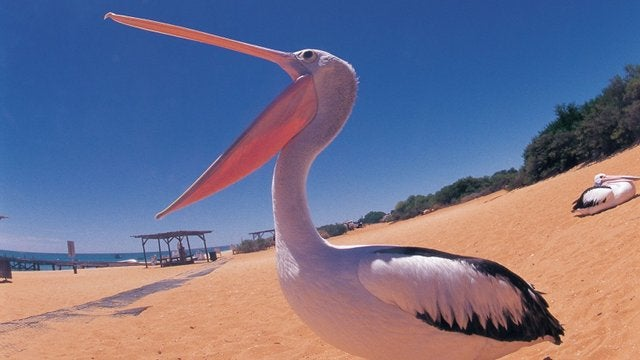 Homeless Man Accused of Choking Pelican to Death