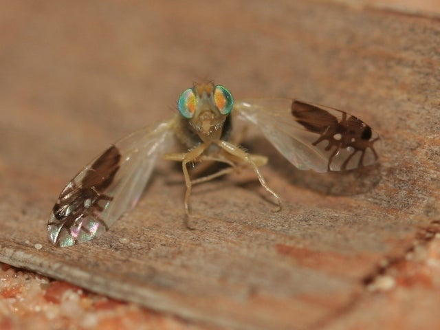 This amazing fruit fly evolved to have pictures of ants on its wings