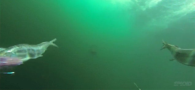 Feel the terror of being chased by a shark swimming underwater