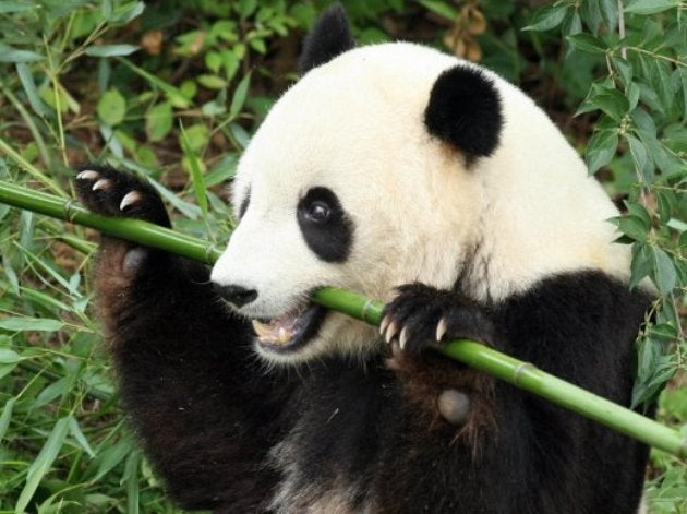 Pandas are vegetarians because they lost the meat-eating gene