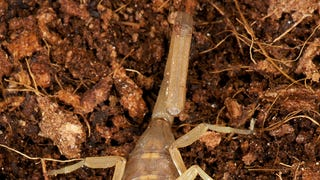 New Findings: How Do Scorpions Make Their Tails?