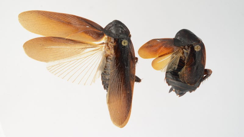 New cold-resistant Asian super-roaches invade New York City