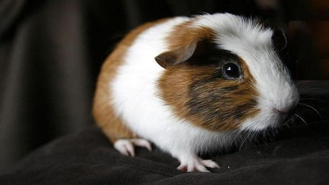 Spinning guinea pigs on a turntable for science!