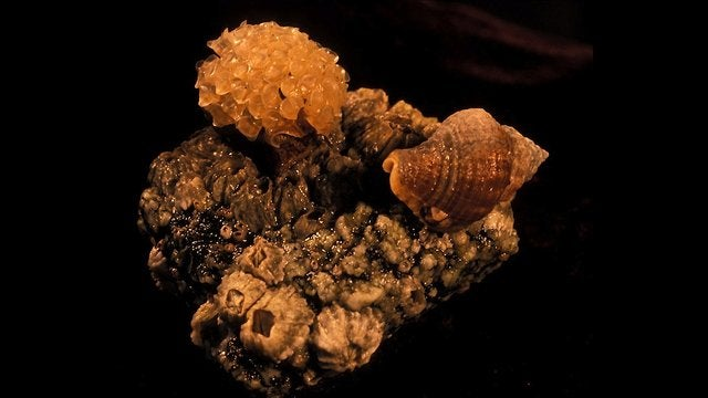 Do these male snails have the worst parenting arrangement ever?