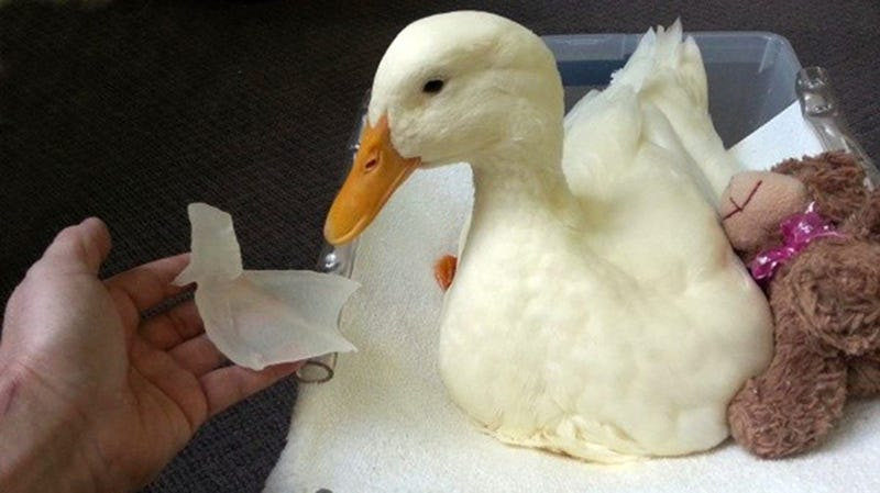 A Lame Duck Is Walking Again Thanks to a 3D Printed Foot