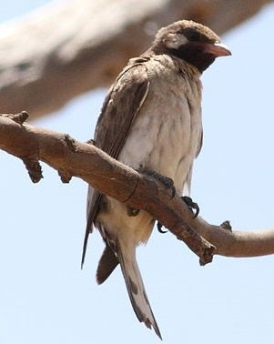 You Will Not Believe What This Ordinary-Looking Bird Does