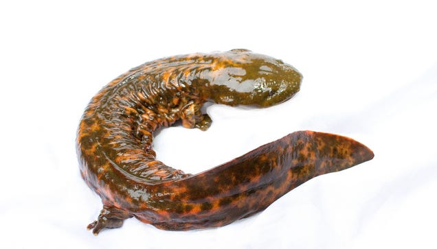 "Meet the ""Snot Otter,"" North America's Biggest Salamander"
