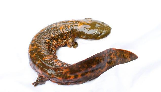 Otter    North America s N American Salamander