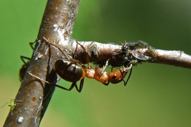 Slavemaker ants bend only the strongest rivals to their will