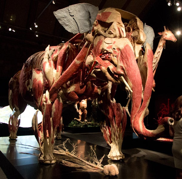 This is what a skinless elephant and a shark made out of blood vessels look like