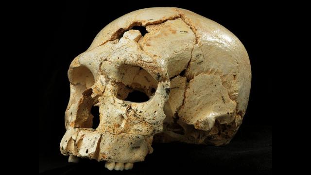 Neanderthals Got Their Big Brains On Their Own