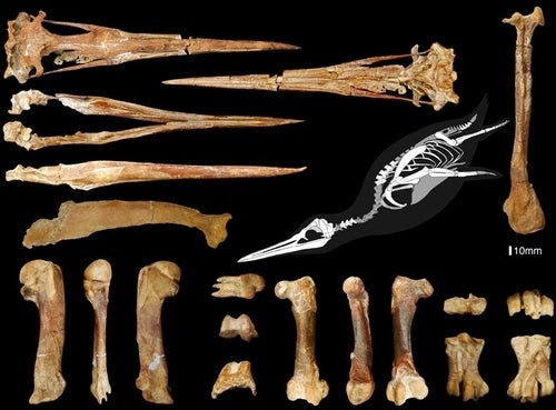 36 million-year-old penguin was five feet tall and had reddish-brown feathers