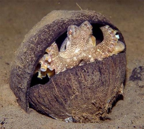 Octopus Uses Coconut Shells as Portable Armor