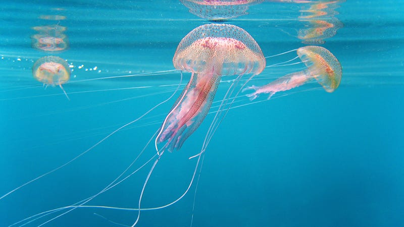 Yay Summer: Existential-Dread-Causing Jellyfish Apocalypse Is Upon Us
