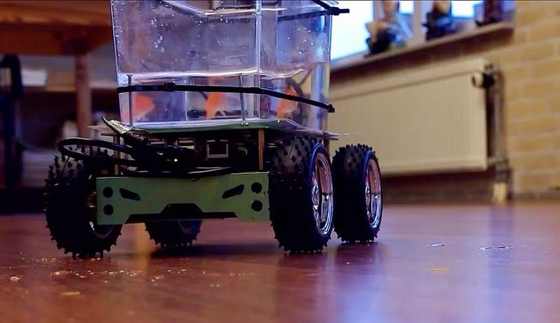"""Este pequeño pez rojo """"conduce"""" su propia pecera con ruedas"""