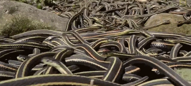 The world's largest gathering of snakes looks like a slithering sea
