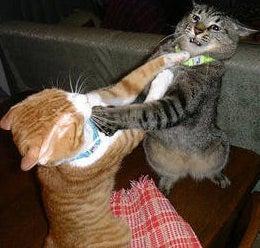Mid-Ohio Endures IRL Cat Fight Epidemic