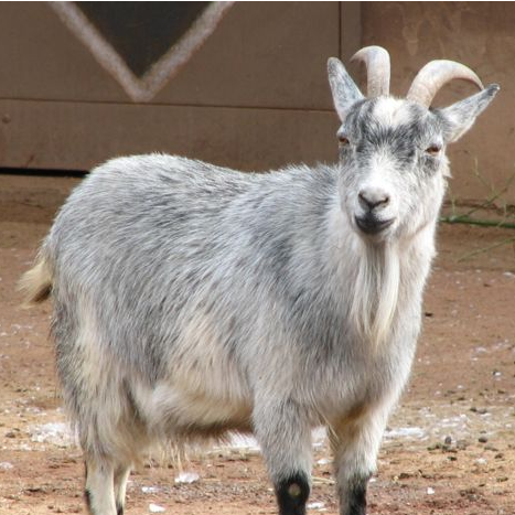 Decapitated Goats in Florida May Be Due to Pagans