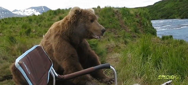 Incredible video of wild Alaskan brown bear chilling out with a camper