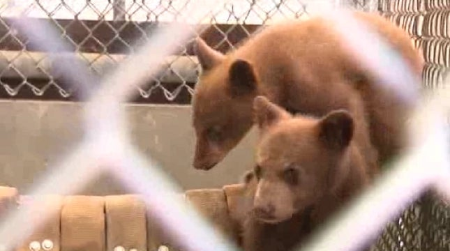 Man Shoots Mama Bear, Tries to Sell Her Cubs at Gas Station