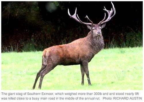 The Emperor of Exmoor, Britain's Largest Wild Animal, Shot Dead
