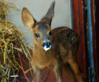 Miracle Bambi Was Born After Mama Deer's Death