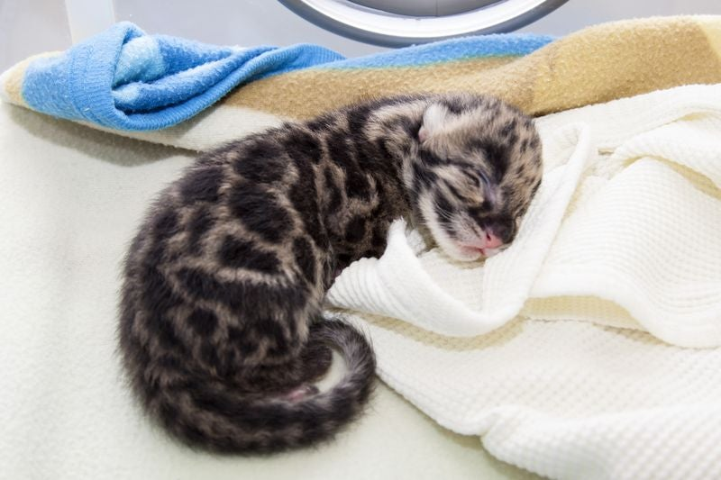 ZOMG BABY CLOUDED LEOPARDS!!! It Has Begun.
