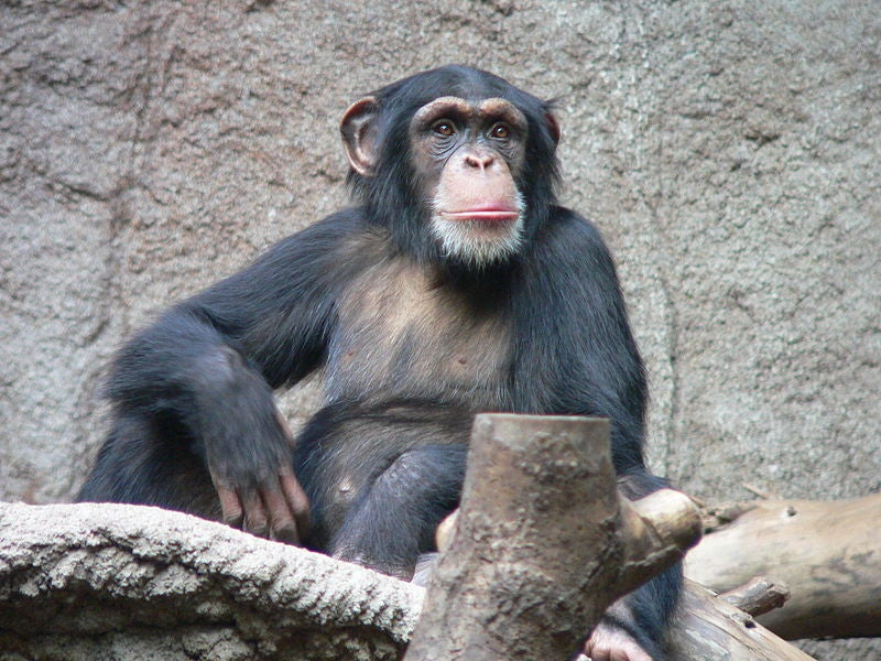 Lost Your Chimpanzees? Get Them Back With Chocolate