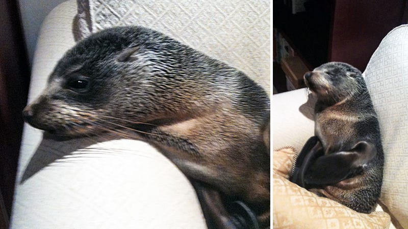 Baby Seal Breaks Into House and Curls Up on Sofa