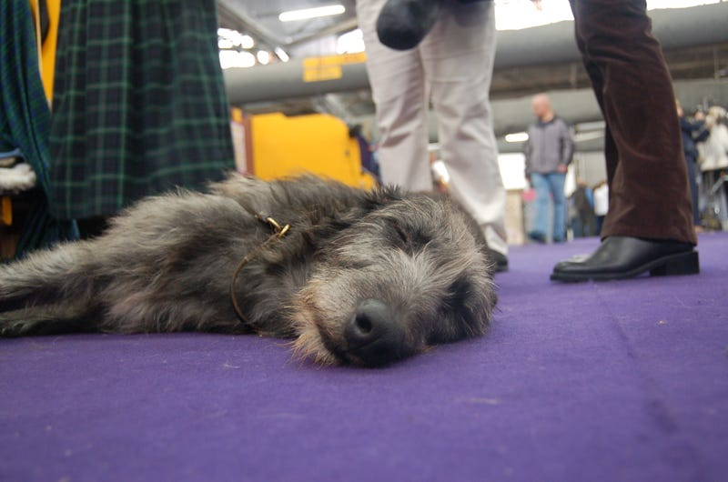 Exile In Dogville: Westminster Gets Comfy In Its New Home