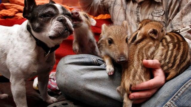 Oh God This Bulldog Adopted Piglets