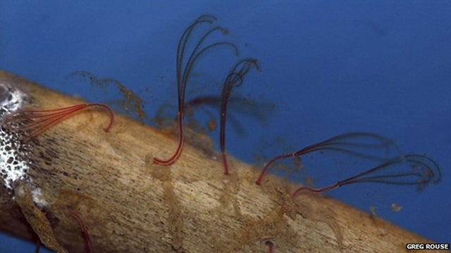 Deep sea 'zombie worms' consume bone by drilling with acid
