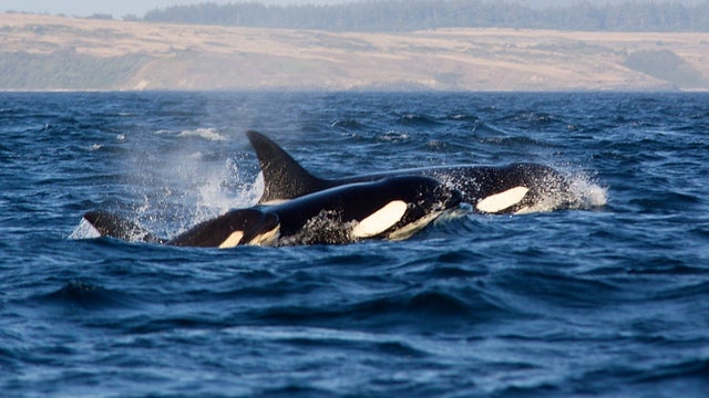 Killer whales need their mamas to look after them... even as adults