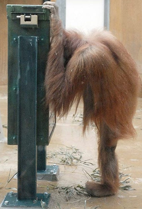 Orangutan Hacks Snack Machine