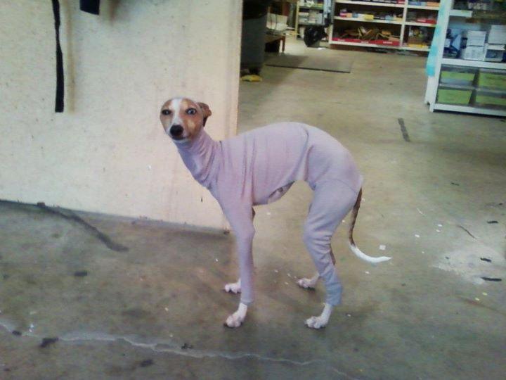 Meet Bones Mello, the AT-AT Dog