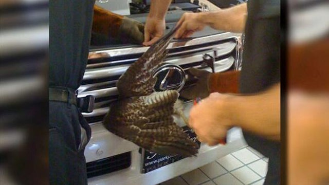 Mechanic saves adorable hawk jammed into Lexus grille